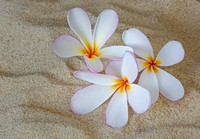 Hawaiian Tropical Plumeria